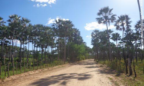 Carnaubais - Plantação de Carnaúba