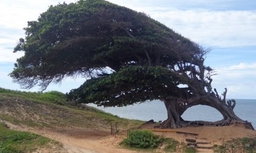 Maxaranguape - Árvore do Amor